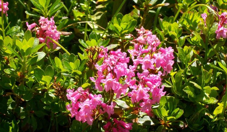 """Alpenrosen (bei uns \""""Almrausch\"""" genannt) blühen auf den Hochalmen von Ende Juni bis Ende Juli"""