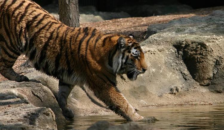 Zoo Schmiding - Tiger