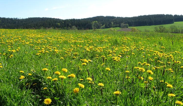 Blumenwiese (© TV Hofkirchen i.M.)