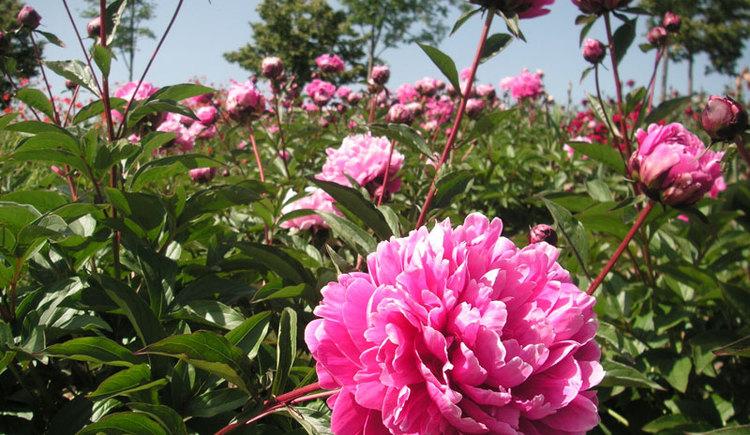Pfingstrosen im Garten der Geheimnisse. (© Garten der Geheimnisse)