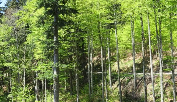 Blick auf eine Forststraße, die mitten durch den Wald führt