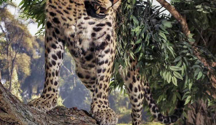 Leopard in der afrikanischen Savanne