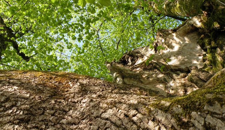 Stamm der 1000-jährigen Linde in Faistenau (© Tourismusverband Faistenau)