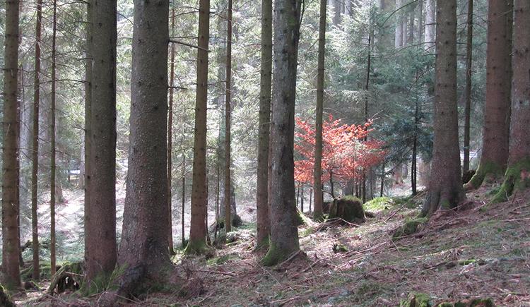Eine Waldszene. Baumstämme ragen in den Himmel und in der Bildmitte leuchtet ein kleiner Baum mit roten Blättern hervor. Der Waldboden ist weitgehend frei von Unterholz.