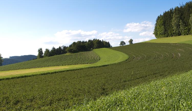 Pfefferminzfeld (© Ooe. Bergkraeutergenossenschaft)