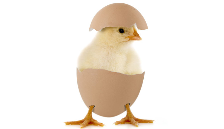 chick hatchs out of a egg. (© Fotolia.com)