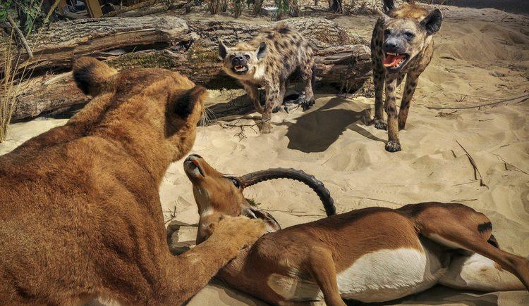 Jäger der afrikanischen Savanne, Löwin und Hyänen