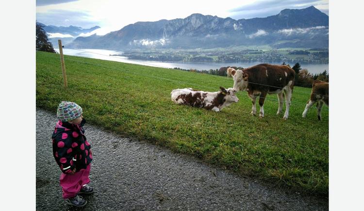 Kleinkind betrachtet die Kühe auf der Weide, im Hintergrund der See und die Berge