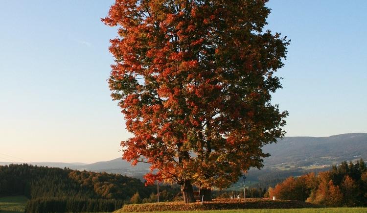 Ahornbaum auf einer Wiese mit Blick auf den Böhmerwald. (© Ferienregion Böhmerwald)