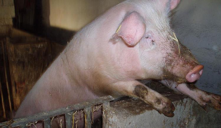 Schwein Ferdinand (© Privat)