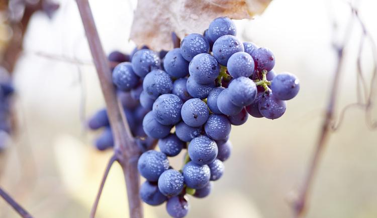 Weintrauben, Weinbau Gmeiner, Perg
