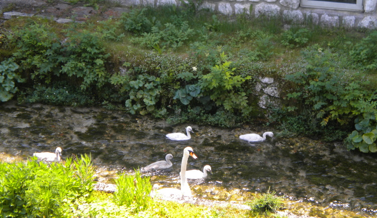Next to the house there is a stream with a swan family.