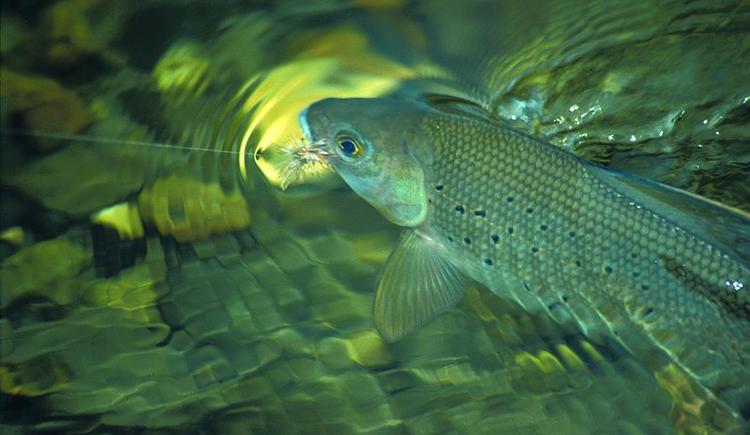 Fischen (© MTV Ferienregion Traunsee)