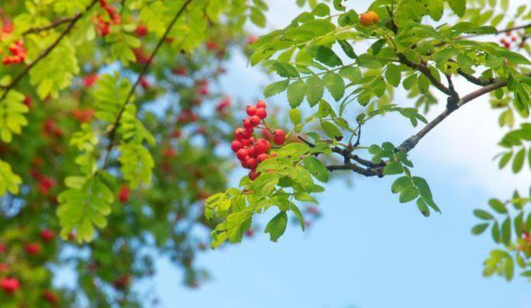 Vogelbeerbaum aus unserem Garten (© Wesenauerhof)