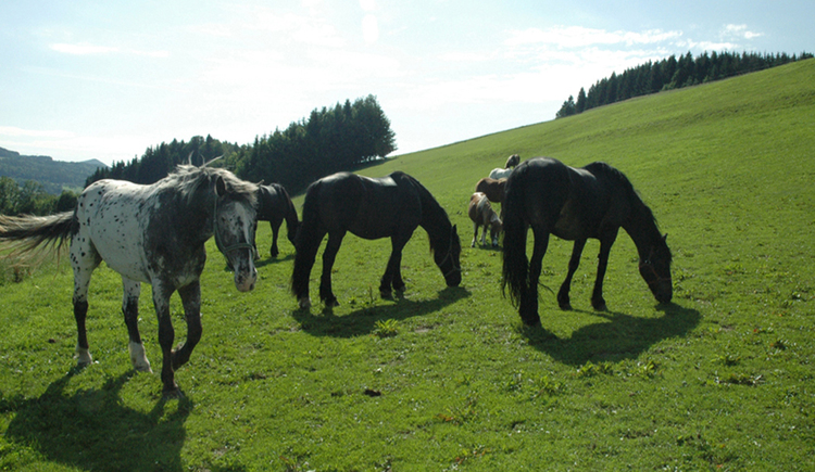 Horses on the meadow. (© Tourismusverband MondSeeLand)