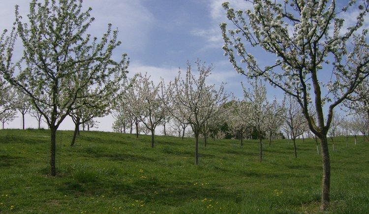Weilbacher Mostbauer - Obstgarten zur Blütenzeit