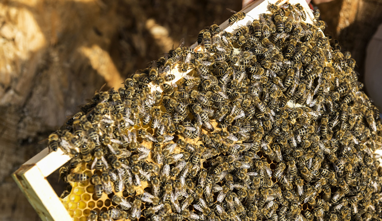 Bienenwabe mit Bienen. (© Tourismusverband Attersee, Klaus Costadedoi)