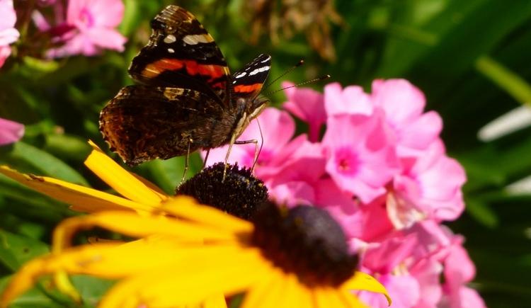 Der Sommer beschenkt uns mit kunterbunten Blüten vor unserer Haustüre. Somit bekommen wir ganz viele Gäste aus der Tierwelt, wie dieser farbenprächtiger Schmetterling, der gerade an unserer Blume labt. (© Eveline Glöckel)