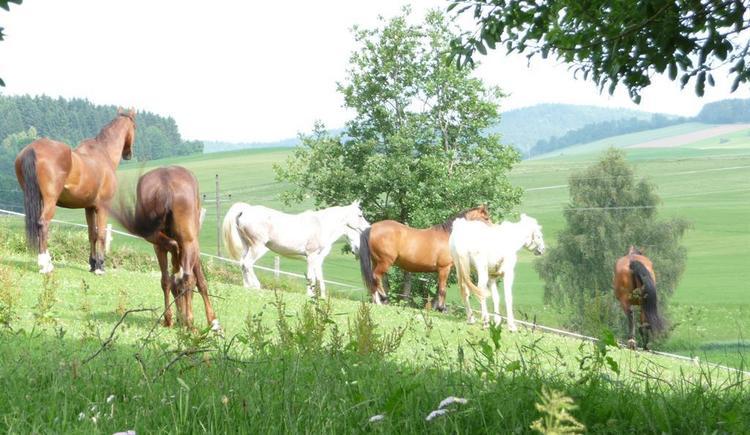 Pferde (© Privat)