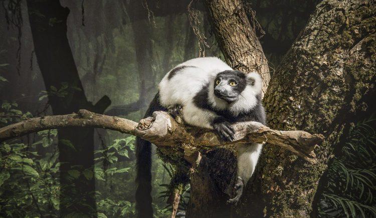 Schwarz-weißer Vari auf Madagaskar
