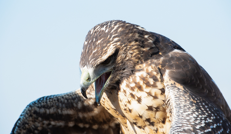 Spektakuläre Sturzflüge der Greifvögel hautnah erleben in der Falknerei Adlerwarte Obernberg! (© Innviertel-Tourismus / FotoloungeBlende8)