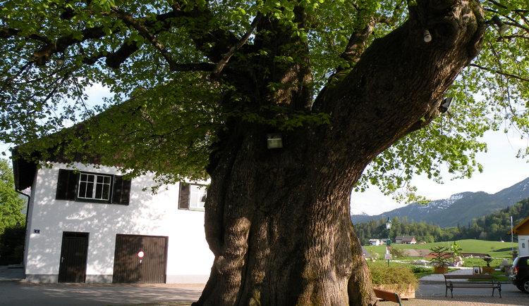 1000-jährige Linde (© Tourismusverband Faistenau)