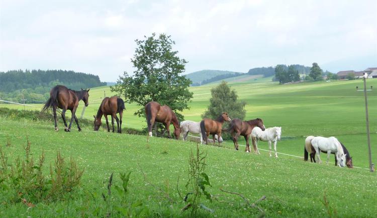 Pferde auf der Wiese (© Privat)