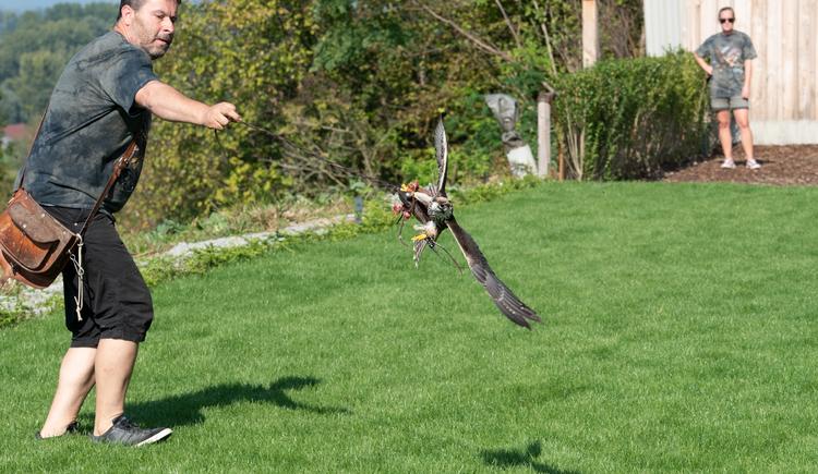 Spektakuläre Sturzflüge der Greifvögel hautnah erleben in der Falknerei Adlerwarte Obernberg!