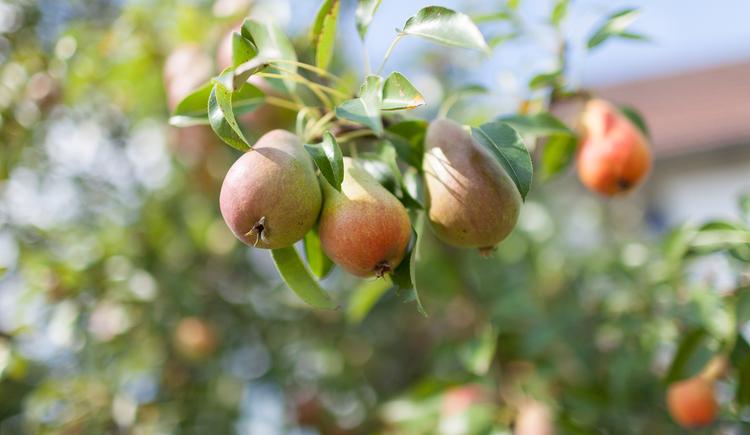 Birnen, Baum