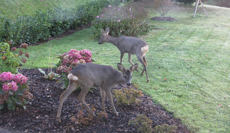 dears in our garden