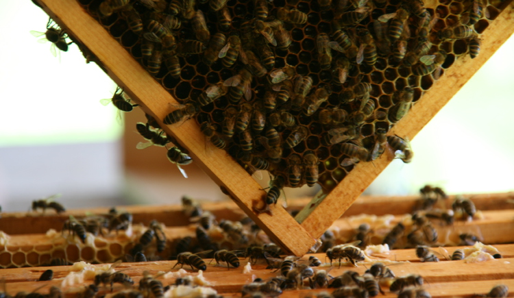 Bienenwabe in der Imkerei beim Oberhinteregghof (© Oberhinteregger´s Erlebnisbauernhof Faistenau)