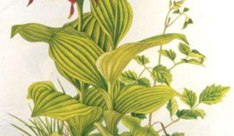 Pflanzenzeichnung von Erich Wilhem Ricek (© Haus der Kultur)
