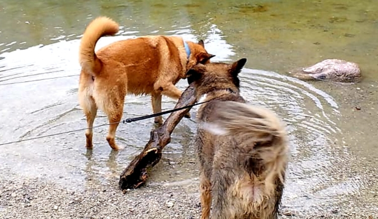 Odi and Jane two shepherd dogs play in Lake Hallstatt with a piece of wood. (© Schwarzlmüller Michael)