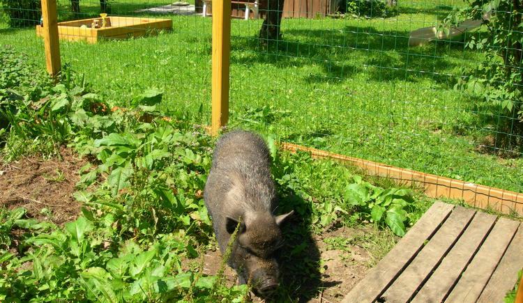 Minischwein (© Josef Scheichl)