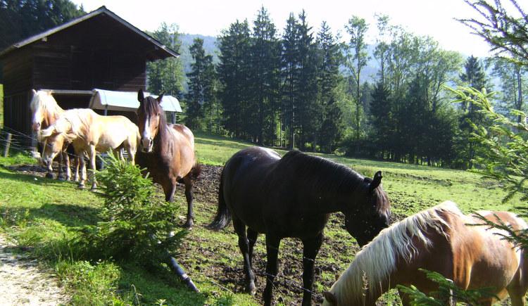 Pferde auf der Weide. (© seekda)