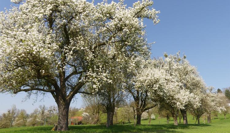 Baumblüte (© Naturpark Obst-Hügel-Land)