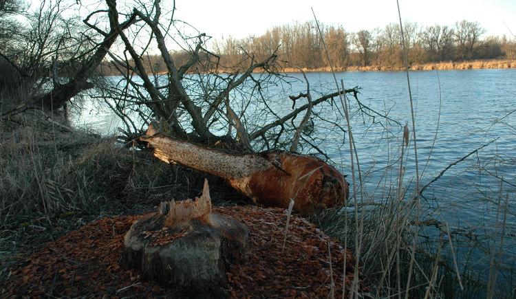 Biberbäume Inn - 02-2008 (2).jpg (© Gemeindeamt Mühlheim am Inn)