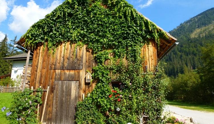 Unsere Holzhütte wurde im Sommer vom Wein erobert. (© (c) Eveline Glöckl)
