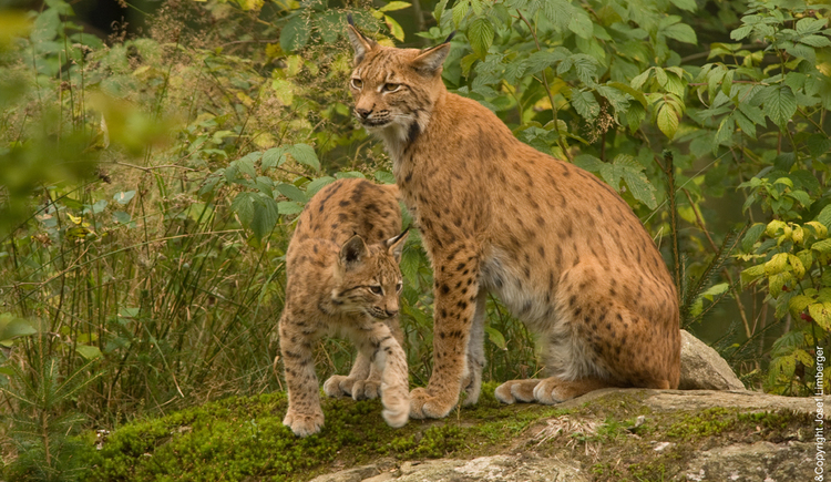 Luchs, Grünes Band, Green Belt Center. (© Josef Limberger)