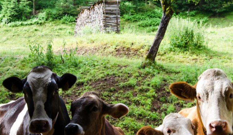 neugierige Kühe (© werner mair)
