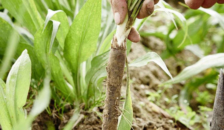 Schwarzwurzel-Ernte im Machland Gemüsehof Voggeneder, Naarn
