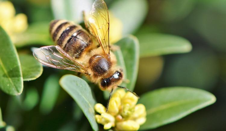 Biene auf Blume. (© Pixabay)