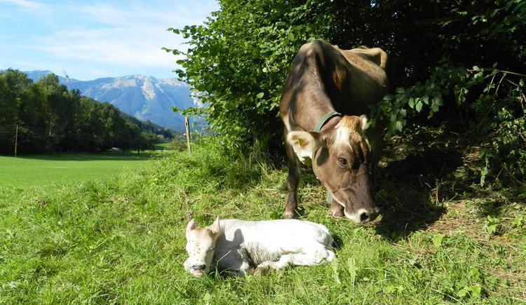 Kuh mit Kalb auf der Weide