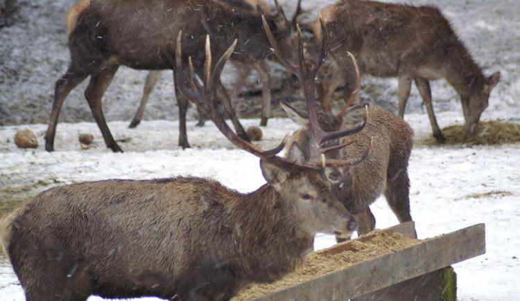 Hirsche - über 100 Stk. Rotwild (© kloiber)
