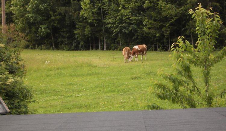 Unsere Kühe beim Grasen