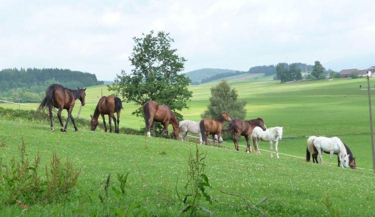 Pferde auf der Weide am ***Ramlhof (© ***Sportpension Ramlhof)