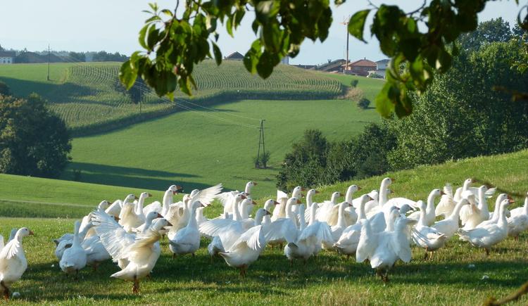 Gänse vom Entenwirt in Tarsdorf