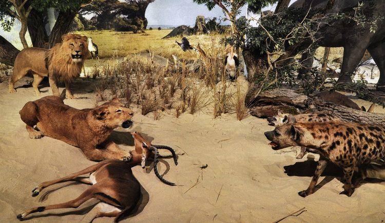 Jäger der afrikanischen Savanne