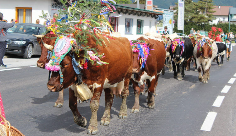 Geschmückte Kühe beim Almabtrieb in Gosau.