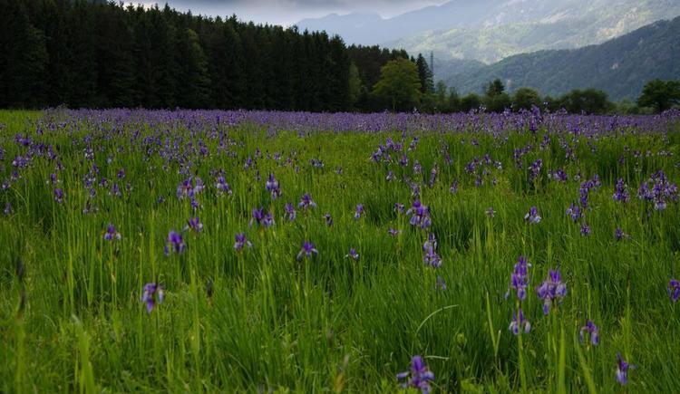 Iriswiese (© werner mair)